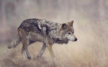 трава, фон, серый, хищник, волк, размытие, боке
