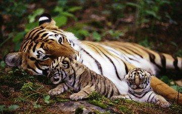 тигр, природа, животные, на природе, животно е, тигры