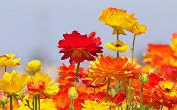 цветы, бутоны, ранункулюс, лютики