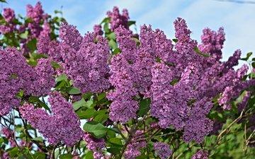 цветы, природа, цветение, весна, сирень, на природе, цветы, весенние