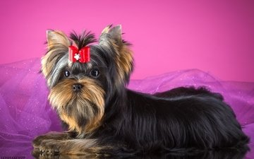bow, terrier, york, yorkshire terrier