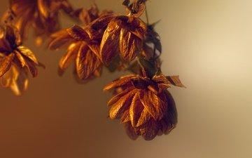 свет, осень, осен, легкие, dried flowers, сухоцветы