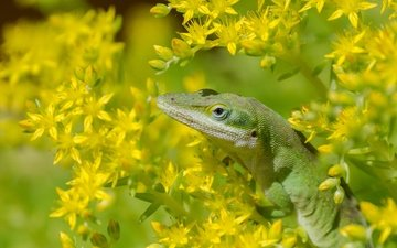 цветы, макро, ящерица, анолис, североамериканский красногорлый анолис, зверобой