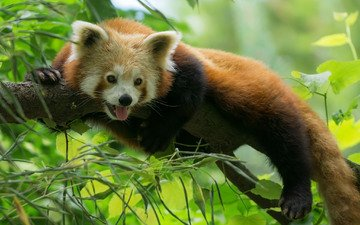 дерево, панда, красная панда