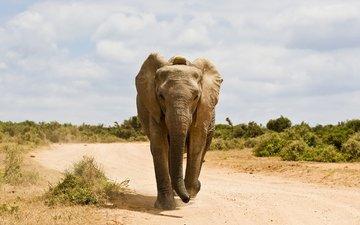 дорога, слон, животное