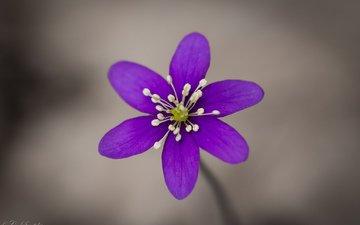фокус камеры, макро, цветок, фиолетовый, сиреневый, анемона, ветреница, печёночница, перелеска