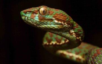 фон, взгляд, змея, окрас, чешуя, рептилия, гадюка, пресмыкающееся