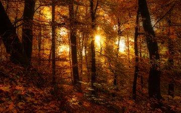 деревья, лес, листья, осень, осен, солнечный свет, листья