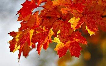 leaves, paint, autumn, maple