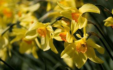цветы, макро, нарциссы, желтые