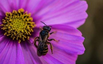 макро, насекомое, цветок, пчела, оса, цветком, wasp