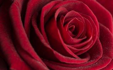 macro, rose, bud