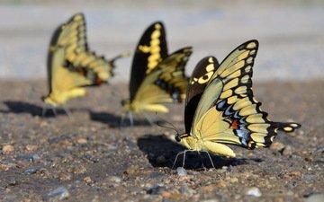 крылья, насекомые, бабочки, mariposas amarillas, yellow butterflies