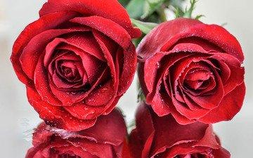 отражения, макро, капли, розы, роза, красные, краcный