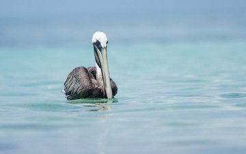 nature, bird, pelican