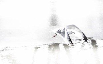 природа, полет, чайка, птица