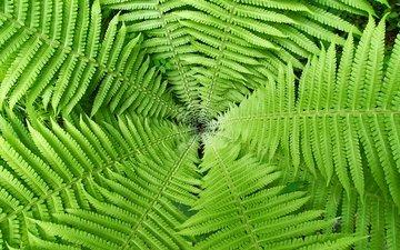 природа, листья, макро, растение, папоротник, зеленое