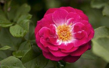 роза, крупным планом, роз