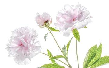 цветы, розовый, нежность, пион