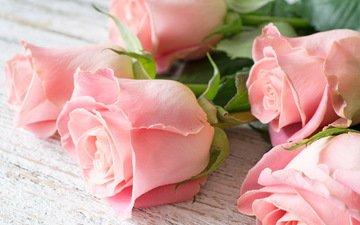 цветы, бутоны, розы, лепестки, цветы, роз, пинк