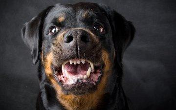 dog, grin, rottweiler
