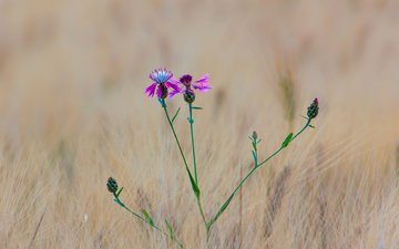 grass, macro, flower, field, meadow, ears, wheat, cornflowers