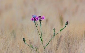 трава, макро, цветок, поле, луг, колосья, пшеница, васильки