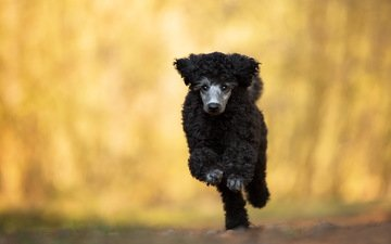 look, dog, each, running, poodle