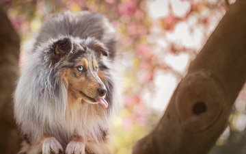 look, dog, each, language, collie, longhair