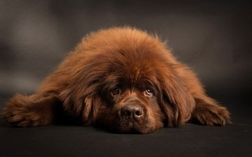 взгляд, пушистый, собака, друг, коричневый, ньюфаундленд