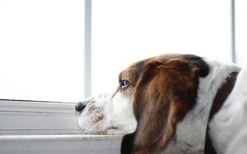 взгляд, собака, окно, друг, бигль