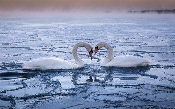 пара, лебеди, верность