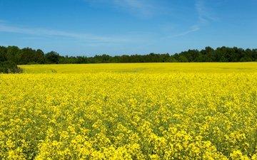 небо, цветы, деревья, солнце, поле, желтые, рапс