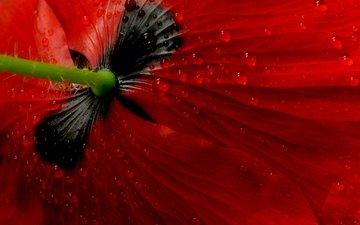 макро, цветок, мак
