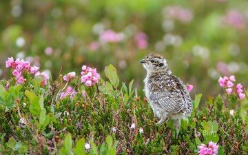 flowers, chick, bird, canada, british columbia, white-tailed eagle, bing, ptarmigan