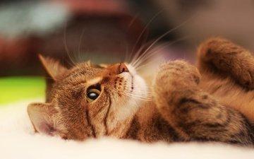 глаза, морда, кот, мордочка, усы, лапы, кошка, колосья, животное, уши, милый, миленькая, взор, feline, лапочки, whiskers