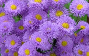 flowers, asters