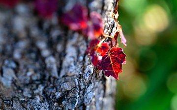 дерево, макро, осень, лист, ствол, кора, боке, mirai.takahashi