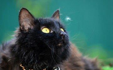 глаза, морда, кот, усы, кошка, уши