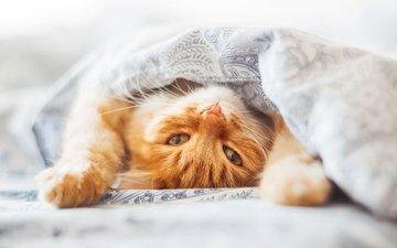 глаза, кот, кошка, взгляд, одеяло, рыжий, постель, рыжый