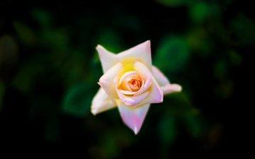 макро, фон, роза, бутон