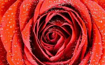 macro, drops, rose, bud
