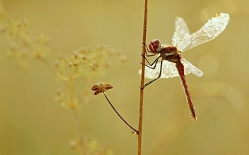 macro, insect, wings, dragonfly, plant