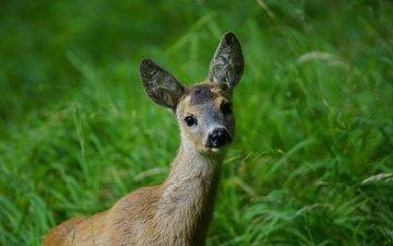 морда, трава, природа, олень, мордочка, колосья, животное, уши, щенка, детеныш, на природе, оленей