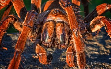природа, макро, насекомое, паук, тарантул