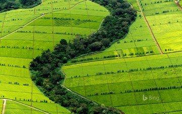 nature, greens, plantation, bing, tea