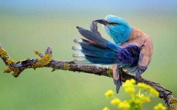 птица, сизоворонка, bing, coracias garrulus, обыкновенная сизоворонка