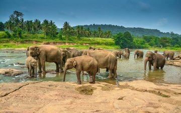 река, пейзаж, пальмы, слоны, тропики, водопой, стадо
