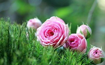 flowers, grass, nature, roses, pink, lie, pink roses
