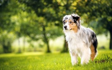 трава, собака, поляна, луг, весна, аусси